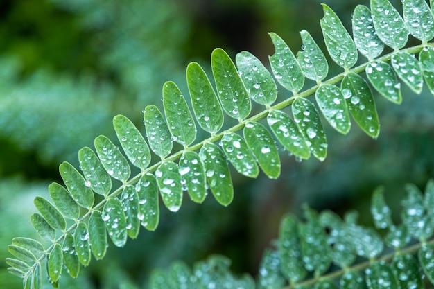 Liście agasta lub sesban lub kolibry warzywne lub kolibry drzewo, lowkey