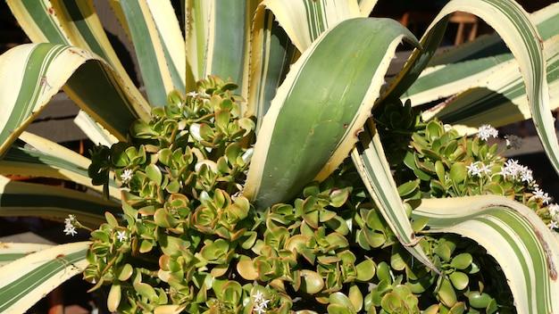 Liście agawy, soczyste ogrodnictwo w kalifornii, usa. projekt ogrodu przydomowego, jukka, roślina wieku lub aloes. naturalne botaniczne ozdobne meksykańskie rośliny doniczkowe, pustynny suchy klimat ozdobne kwiaciarstwo.