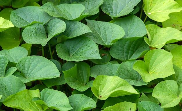 Liście batata (ipomoea batatas), zwane w indonezji ubi jalar