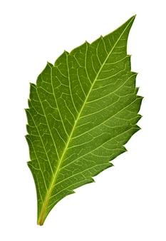Liście dalii na białym tle ze ścieżką przycinającą jeden zielony zielnik liści