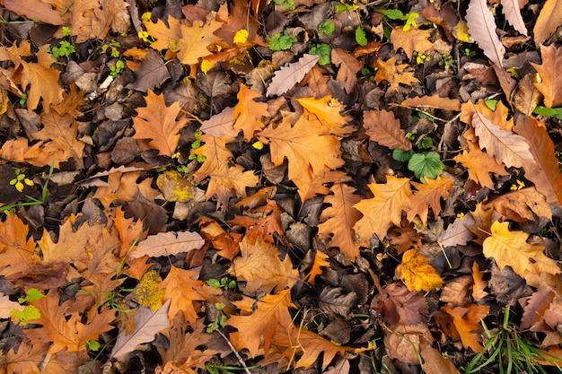 Liście dębu czerwonego północnego. jesienny dywan ekologiczny. selektywna ostrość.