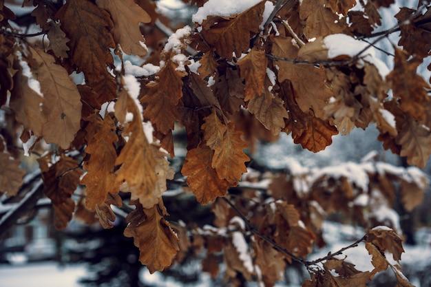 Liście dębu z szronem w zimowym lesie streszczenie tło