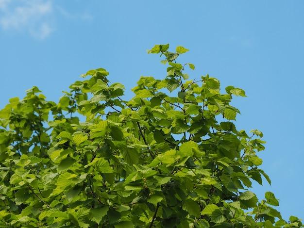 Liście drzewa leszczyny