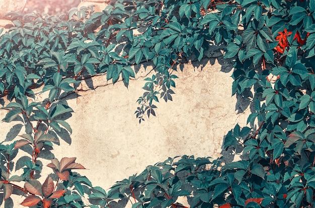 Liście dzikich winogron i betonowa ściana