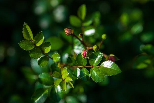 Liście i nieotwarte pąki róży na krzewie róży przed kwitnieniem