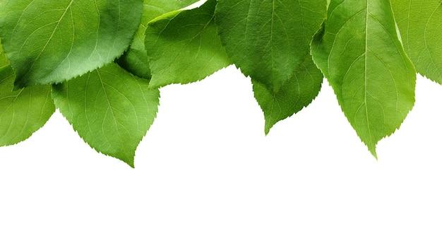 Liście jabłoni na białym tle. świeże zielone liście bez owoców.