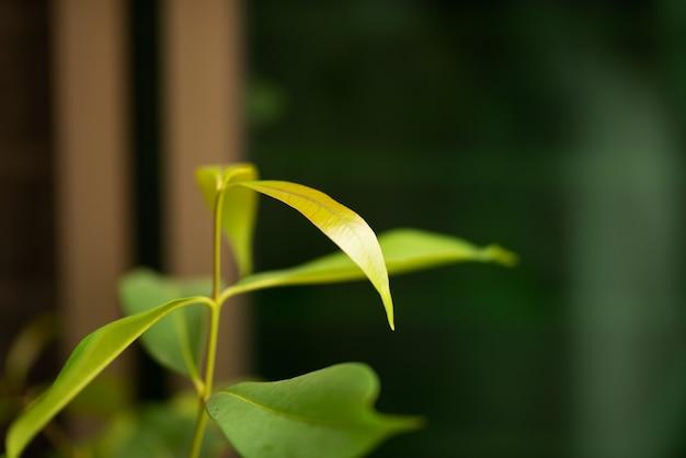 Liście jambul, śliwka jawajska lub liście jambul zielone