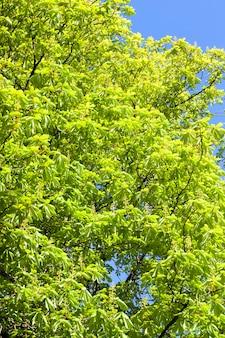 Liście jasnozielone i początek kwitnienia kasztanów wiosną, zbliżenie na tle błękitnego nieba