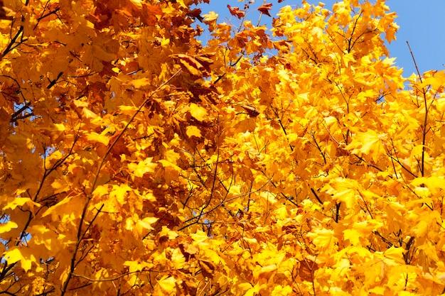 Liście klonu jesienią opadają, klon ze zmieniającymi się czerwonymi liśćmi z bliska, piękna przyroda z dzikim klonem