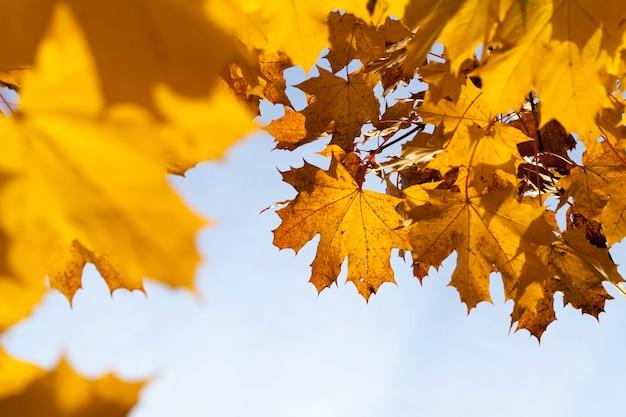 Liście klonu jesienią opadają, klon ze zmieniającymi się czerwonymi liśćmi z bliska