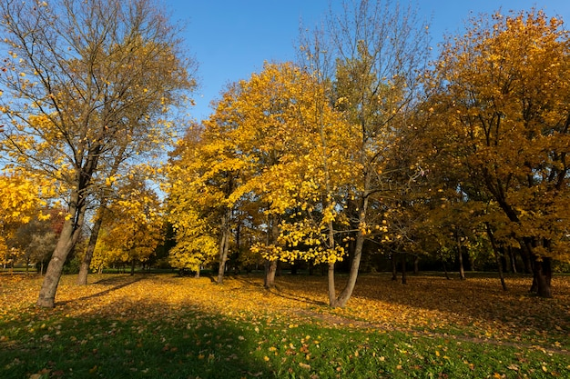 Liście klonu jesienią