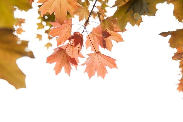 Liście klonu na gałązce jesienią. liście klonu czerwonego.