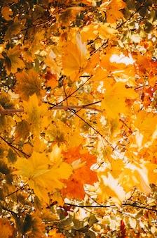 Liście klonu na żółtych gałęziach drzew w słońcu. koncepcja ciepłego, jesiennego poranka. tło żółte liście w lesie.