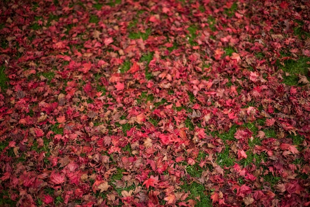 Liście klonu spadły na trawie