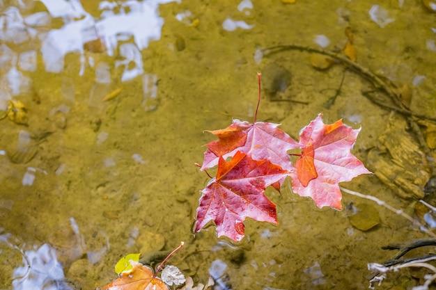 Liście klonu unoszące się na wodzie