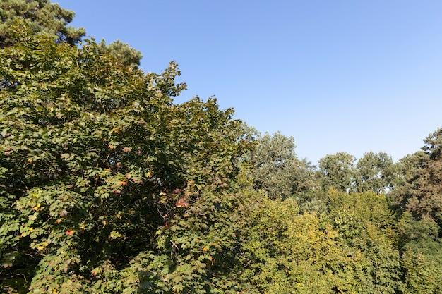 Liście klonu w okresie jesiennym podczas opadania liści, klon ze zmieniającym się czerwienieniem liści