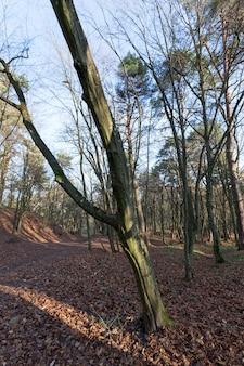 Liście klonu w sezonie jesiennym podczas opadania liści, klon ze zmieniającym się czerwonawym zbliżeniem liścia