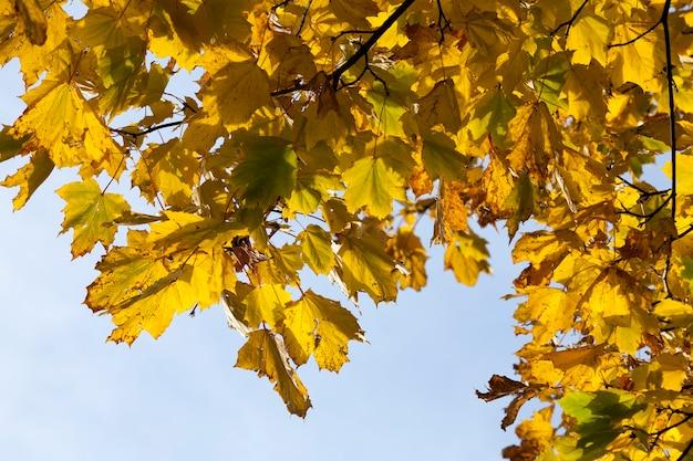 Liście klonu w sezonie jesiennym podczas opadania liści, klon ze zmieniającymi się czerwonymi liśćmi z bliska, piękna przyroda z prostym klonem