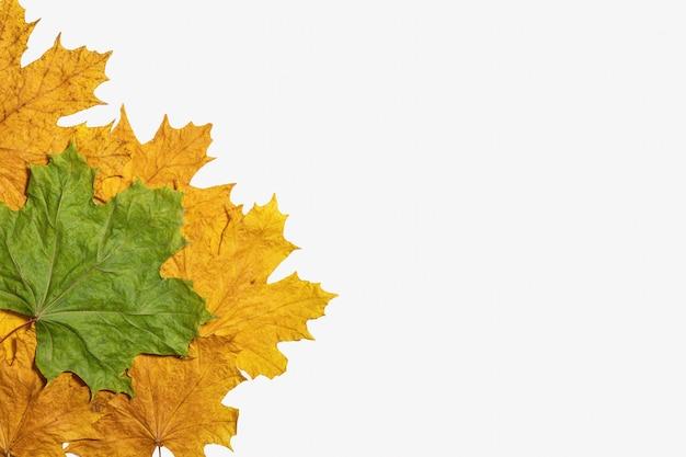 Liście klonu zielony żółty na białym tle jesienią