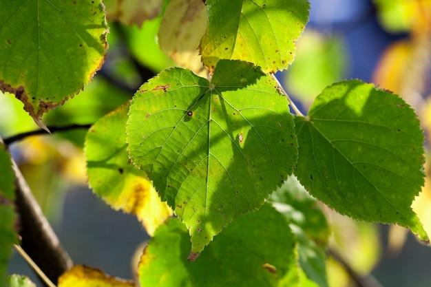Liście lipy pożółkłe w okresie jesiennym