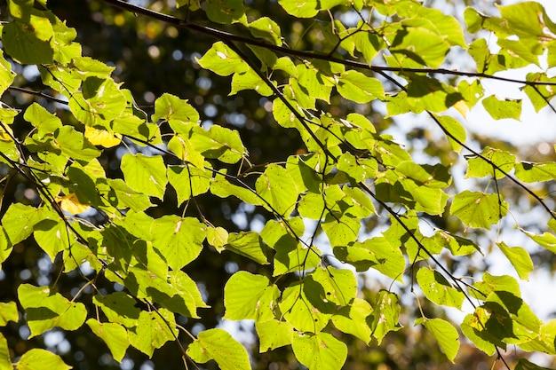 Liście lipy zielone z czarnymi plamkami, sezon jesienny