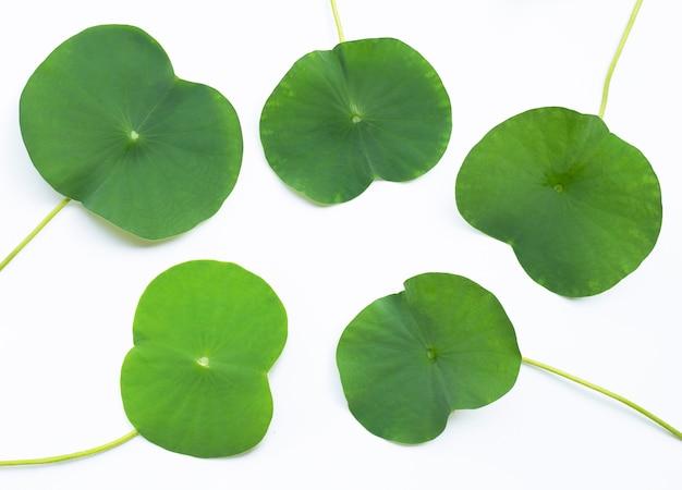 Liście lotosu. widok z góry