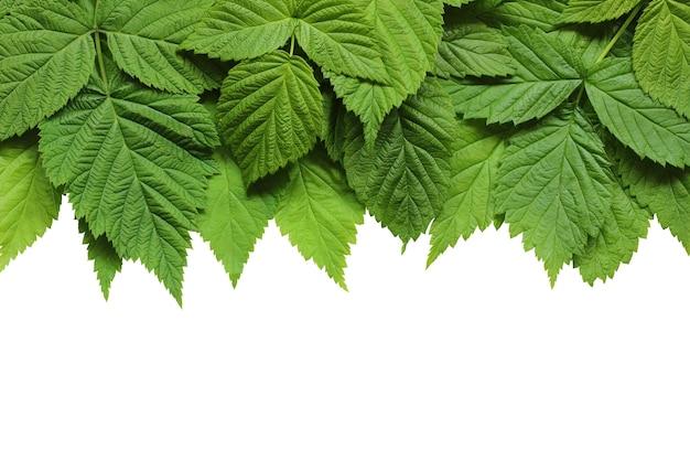 Liście malin na białym tle na białym tle. zielone młode liście.