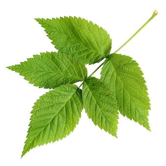 Liście malin na białym tle. świeży zielony liść.