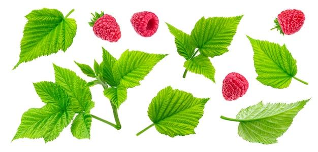 Liście malin roślin, cięte łodygi i jagody na białym tle. zestaw zbliżeń oddziałów. zielone liście, aromatyczna czerwona jagoda ogrodowa. kolekcja elementów malinowych