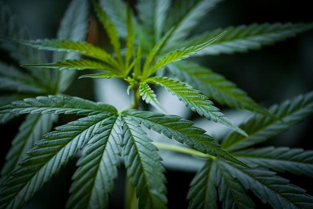 Liście marihuany drzewo rośliny marihuany / zbliżenie zielonych liści konopi na ekstrakt medyczny opieki zdrowotnej naturalny