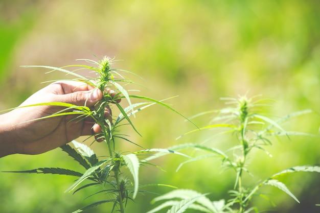 Liście marihuany, konopie indyjskie na pięknym tle.