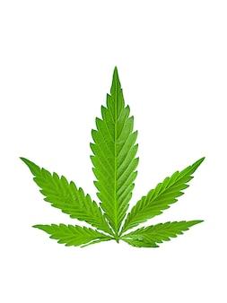 Liście marihuany na białym tle, zabronione rośliny powodujące halucynacje