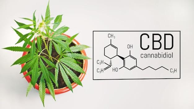Liście marihuany o budowie chemicznej cbd, formuła konopi cbd