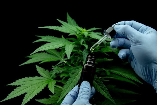 Liście marihuany rośliny