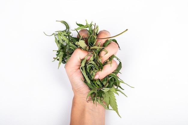 Liście marihuany w ręce kobiety na białym tle symbol legalizacji konopi