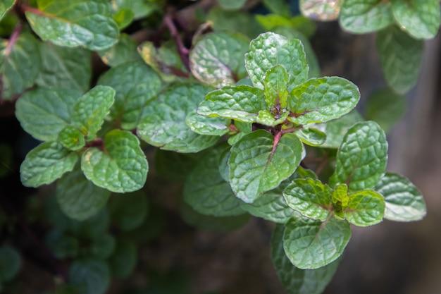 Liście mięty rosną w ekologicznym ogrodzie warzywnym