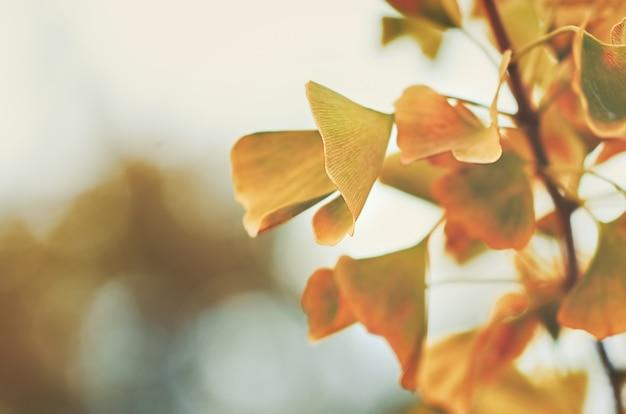 Liście miłorzębu dwuklapowego jesienią