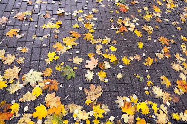 Liście na chodniku, jesień - spadające z drzew i leżące na chodniku dla pieszych pożółkłe liście klonu, sezon jesienny, mały dof,