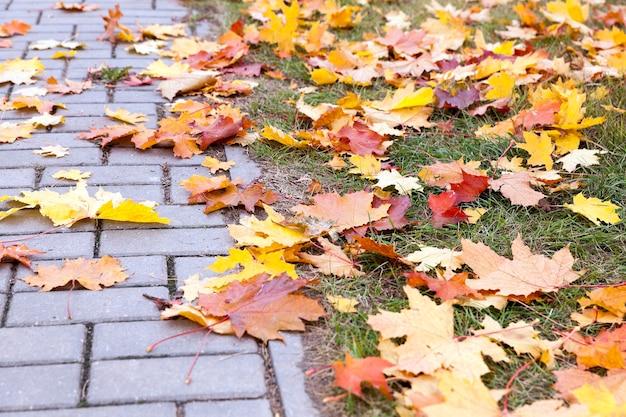 Liście na chodniku, jesień - spadające z drzew i leżące na chodniku dla pieszych pożółkłe liście klonu, sezon jesienny