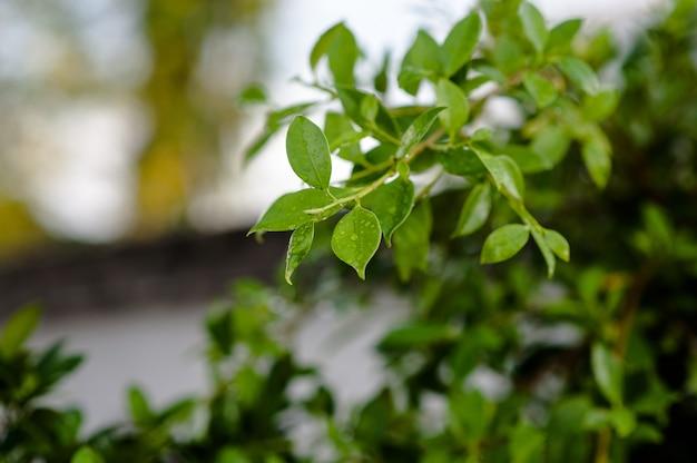 Liście nie są liściaste w deszczu. są krople w liściach, pędach, liściach, miękkim odcieku