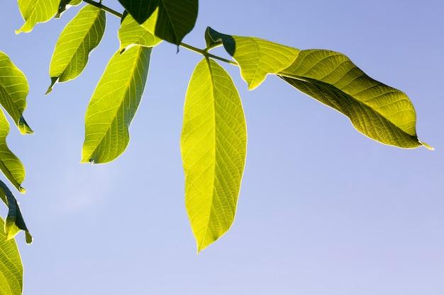 Liście orzecha włoskiego drzewo