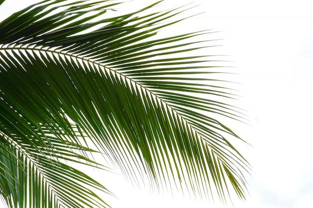 Liście palmowe na białym tle