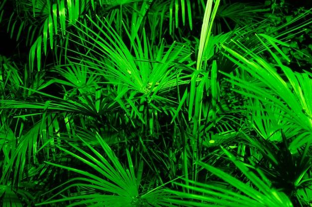 Liście palmy sabałowej z bliska w zielonym oświetleniu