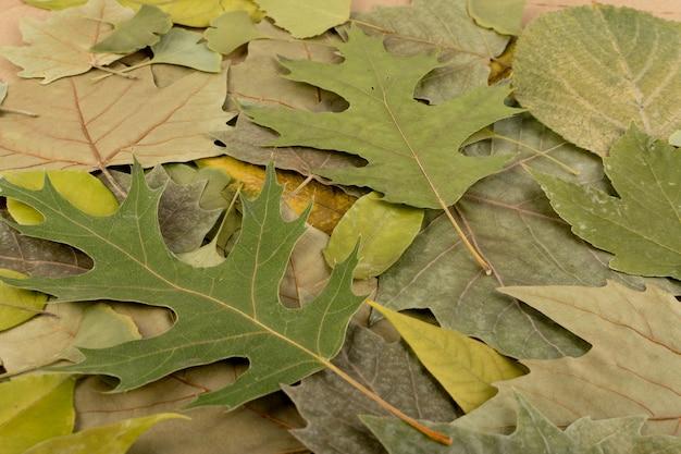 Liście płaskie suszone