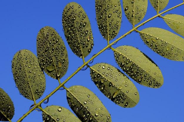 Liście robinia pseudoacacia, zwanej potocznie robinią akacjową, z kroplami deszczu