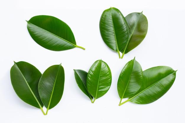 Liście roślin gumowych na białym tle. widok z góry
