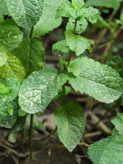 Liście rośliny są dotknięte chorobą grzybową mączniaka prawdziwego.