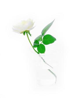 Liście róży na białym tle.