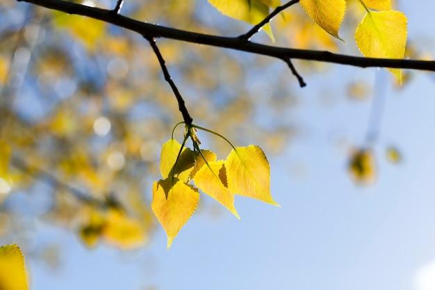 Liście świeżej lipy żółte na gałęziach, początek wczesnej jesieni