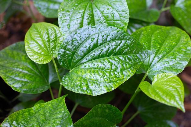 Liście świeżych zielonych dzikich roślin betalowych